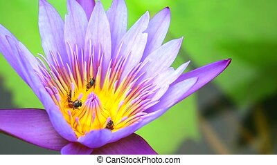 bees find sweet on pollen of purple lotus flower