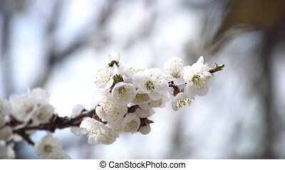 Bees Flies Above Blooming Apricot Tree In Spring