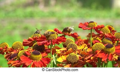Bees fly around orange flowers collecting nectar. - Bees fly...