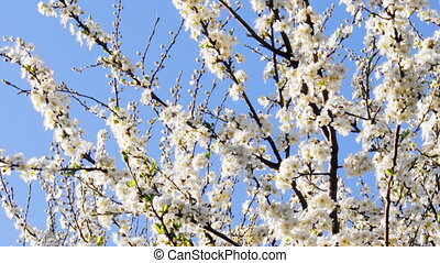 Bees fly to Blossoming Tree at Springtime.