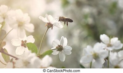 Bees fly to Blossoming Tree, slow motion - Bees fly to...