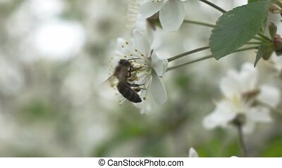 Bees fly to Blossoming Tree, slow motion - Bee flower hangs...