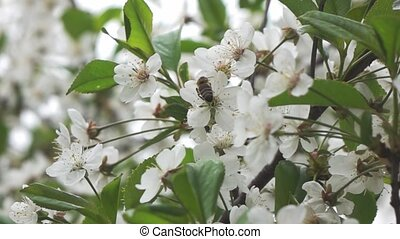 Bees fly to Blossoming Tree, slow motion - Slow motion....