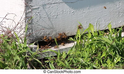 bees flying around the hive - Shot of bees flying around the...