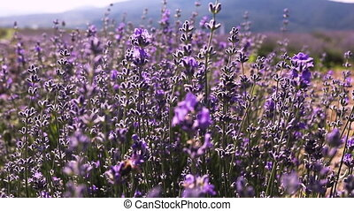 Blooming lavender flowers with bees flying from one plant to another. Lavender farm, organic honey produce.