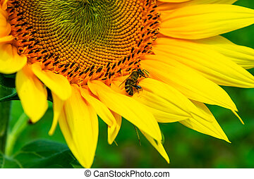 bees gathering pollen of the sunflower. insect on yellow...