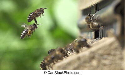 Bees go in and out in the hive. - Bees go in and out in the...