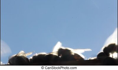 Bees in evening rays of sun - The hairs on the insect's body...