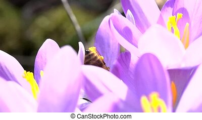bees in springtime - slow motion