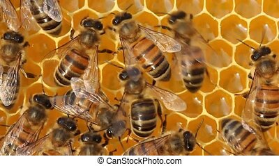 Bees inside the hive - Bees build honeycombs and convert...