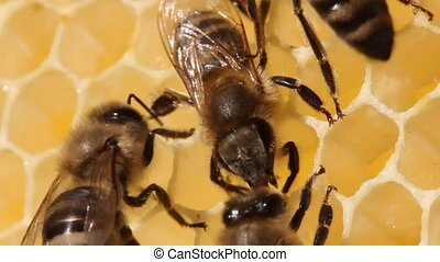 Bees make wax plates for building honeycombs. - One bee...