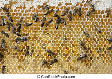 Bees on a frame.