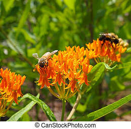 Macro of a bee sipping nectar from beautiful orange Butterfly Milkweed flowers with another bee in the background.