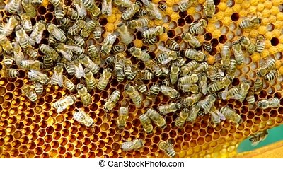 Bees on honeycomb and white bee larvae