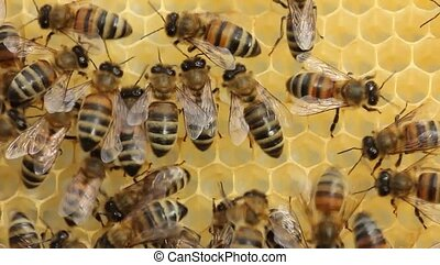 Bees on honeycomb - Bees build honeycombs and honey close to...