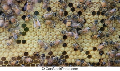 Bees On Honeycomb - Honeybees buzz across and build a...