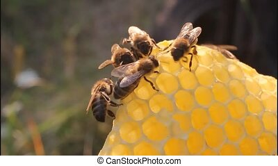Bees on honeycomb - Bees take nectar from the hive taken out...
