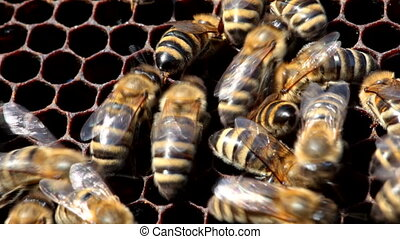 bees on honeycomb with honey