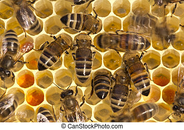 Bees on honeycombs
