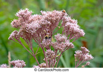 bees on milkweed flower - bumble bee and honey bee on pink...