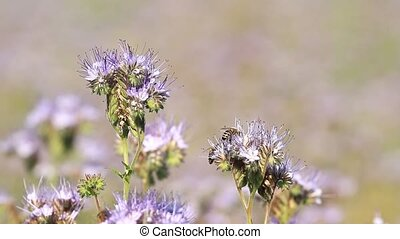 Bees pollinate phacelia flowers in summer day