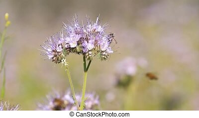 Bees pollinate phacelia flowers in summer