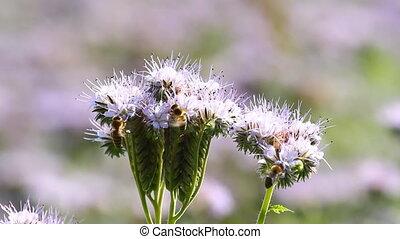 Bees Pollinate Phacelia Flowers