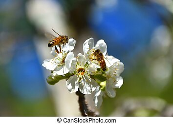 Bees Pollinating - A couple of bees pollinating white fruit ...