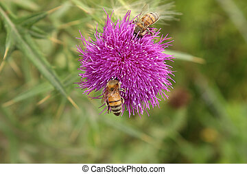 Bees Pollinating Thistle