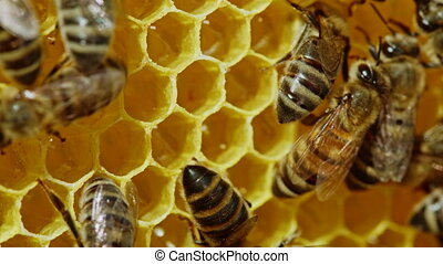 Bees swarming on honeycomb, extreme macro footage. Insects working in wooden beehive, collecting nectar from pollen of flower, create sweet honey. Concept of apiculture, collective work. High quality