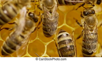 Bees swarming on honeycomb, extreme macro footage. Insects working in wooden beehive, collecting nectar from pollen of flower, create sweet honey. Concept of apiculture, collective work.