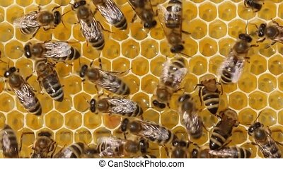 Bees take nectar from honeycomb to transform it into honey....