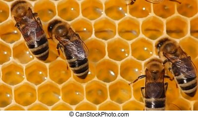 bees transform nectar into honey - Beauty inside the hive....