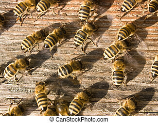 Bees ventilate the hive. In this way they create priemlenie...