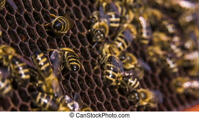 Bees work on empty honeycomb - A group of bees work on a...
