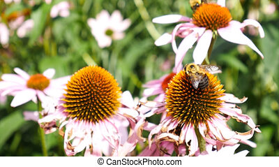 Bees working on Echinacea officinalis flowers flying from one to another