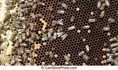 Bees working on honey cells - Close up view of the working...