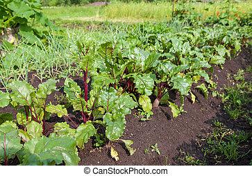 Beet cultivation on open soil