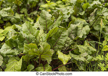 Beet green leaves growing in the garden.