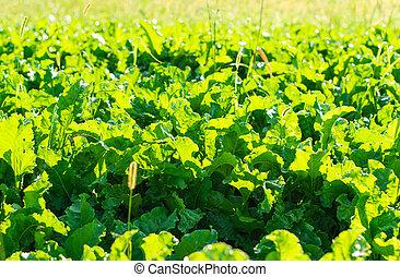 beet growing in the field