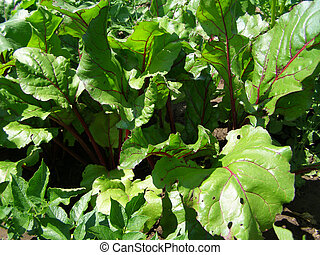 beet growing in the garden
