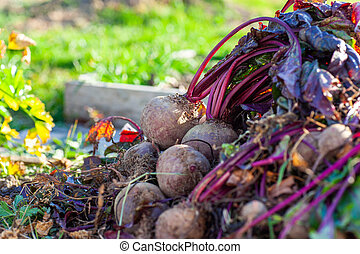 Beet harvest at a bed in the garden
