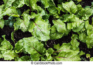 Beet leaves in the summer garden