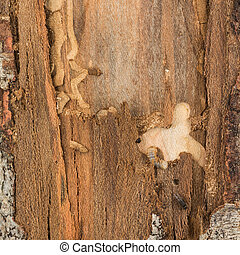 Beetle and larva and damage on pine - Beetle and larva found...