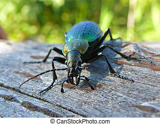 Beetle Carabus 7 - A close-up of a beetle carabus on tree. ...
