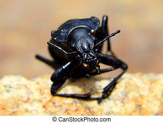 Beetle - Carabus coriaceus - Detail of a beetle - Carabus ...