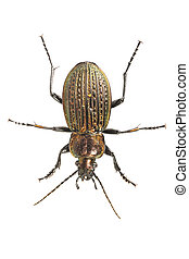 Beetle (Carabus ullrichii) on a white background - Beetle (...
