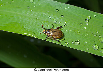 Beetle chafer on grass-blade 9 - A close up of the small...