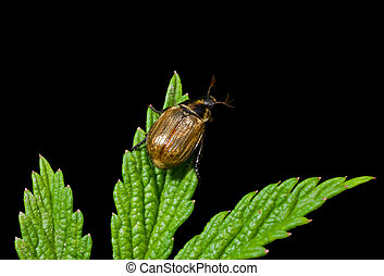 Beetle (Chafer) on leaf 2