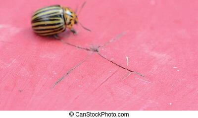 beetle colorado potato